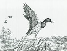 Duck Taking Flight by Samuel Showman Realistic Hair Drawing, Fly Drawing, Duck Drawing, Pencil Drawings Of Animals, Animal Sketches, Bird Drawings, Wildlife Paintings, Wildlife Art, Hunting Drawings