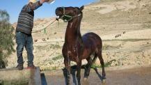 http://www.vier-pfoten.at/projekte/pferde/arbeitspferde-in-jordanien/