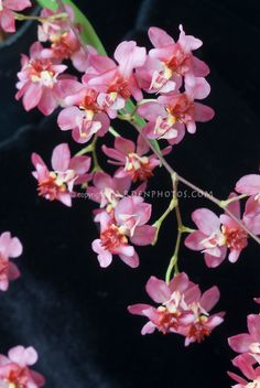red oncidium orchid | Oncidium Twinkle orchids in pink and red blooms