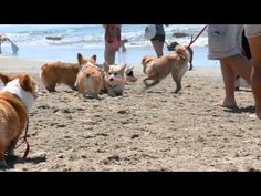 4/20/13 Beach party was a Corgasboard. The song is the perfect companion to all the derpy happiness of #corgis.