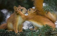 Super Cute Animals Showing Affection is part of Animals kissing Please, can it be animal cuddle time Yes! If you love animals, you will love animals loving on each other - Cute Animals Kissing, Super Cute Animals, Adorable Animals, Cute Squirrel, Baby Squirrel, Squirrels, Squirrel Memes, Secret Squirrel, Animals And Pets