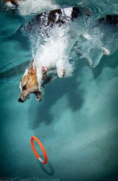 Only a Jack Russell could look that intense under water! This is so my old dog!! He was a Jack Russell and LOVED swimming!
