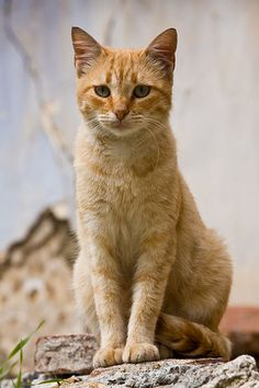 Sandstorm~warrior~she-cat~caring, kind, feisty, cunning, good at hunting~mate: Fireheart~no kits (PB:Silvershadow) Warrior Cats, Pretty Cats, Beautiful Cats, Maurice Careme, Cat Pose, Orange Tabby Cats, Photo Chat, White Cats, Black Cats
