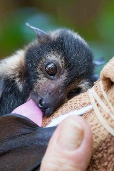 flying fox baby bat in rehab Nature Animals, Animals And Pets, Baby Animals, Funny Animals, Cute Baby Bats, Cute Bat, Beautiful Creatures, Animals Beautiful, Fruit Bat
