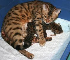 TOP 35 Bengal kittens (16)
