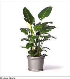 Rhapis Excelsa A Slow Growing Miniature Fan Palm With