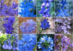 Western Australia's wildflowers:   left to right -  Dampiera, Blue Lady Orchid, Blue China Orchid, Sun Orchid  Hovea, Native Cornflower, Blue Squill, Scented Sun Orchid  Wild Violet, Blue Leschenaultia, Blue Fan Flower, Starflower