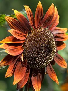 'Chocolat' sunflower, a fun twist on one of the favorite annual flowers of all time. This variety bears big heads surrounded by golden-brown petals.  #sunflower