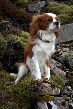 A great hiking dog. by Heiðdís Róberts on Cavalier King Spaniel, Cavalier King Charles Dog, King Charles Spaniel, Cute Little Puppies, Cute Dogs And Puppies, Baby Dogs, Doggies, Roi Charles, Hiking Dogs