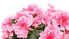 3 tips för att lyckas med azalea! Floral Wreath, Wreaths, Rose, Tips, Flowers, Plants, Decor, Floral Crown, Pink
