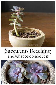 to do When a Succulent Grows Tall and Leggy If you have succulents growing tall and leggy you can easily fix the problem and bring the plant back to its original beauty.If you have succulents growing tall and leggy you can easily fix the problem and bring House Plants, Planting Flowers, How To Grow Taller, Tall Succulents, Plants, Garden, Succulents, Plant Care, Container Gardening