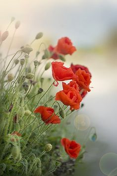 poppies (papaveri)