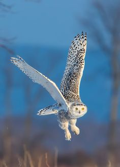 Snowy Owl (Bubo scandiacus) in flight. - by Tim Harding Nature Animals, Animals And Pets, Cute Animals, Lechuza Tattoo, Owl Legs, Beautiful Owl, Colorful Birds, Exotic Birds, Snowy Owl
