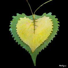 https://flic.kr/p/8AEjA1 | Poplar Leaves - Feuilles de tremble | Populus (Salicaceae)