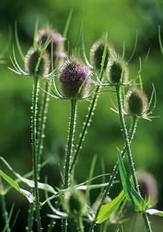 Teasel, beautiful and known to contain anti-carcinogenic compounds