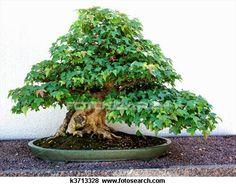Old maple bonsai tree View Large Photo Image