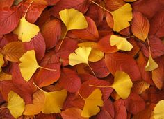 ginkgo. I know they aren't flowers, but I still love them.