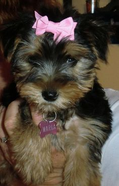 Marla when we first got her! We will be breeding her with Mykie when she's old enough!
