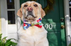 Spring Fever with a Pinch of Sophistication | #itsalabthing #labradors  Bow ties from www.3shadesofdog.com