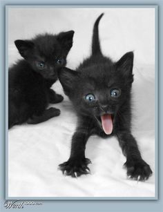 Is there really any reason we shouldn't have a black cat? History hasn't always been favorable to this feline but we can give our love to them. I Love Cats, Crazy Cats, Beautiful Cats, Animals Beautiful, Cute Baby Animals, Funny Animals, Animals Images, Zoo Animals, Gatos Cats