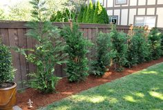 Screening: Leland Cypress grow like weeds, if you are looking for a great tree for privacy in a hurry. We have 34 of these planted.plan to plant 35 plus this spring. Wonder which ones are deer resistent. Privacy Landscaping, Backyard Privacy, Backyard Ideas, Privacy Trees, Landscaping Ideas, Garden Landscaping, Garden Ideas, Fast Growing Trees, House Yard