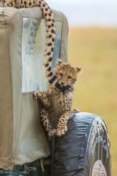 Cheetah cub hanging onto Mum's tail - Maasai Mara, Kenya