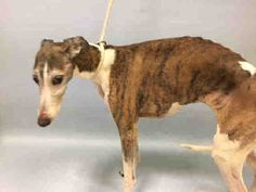 Urgent Manhattan - SNOWFLAKE - #A1100243 - MALE BR BRINDLE/WHITE GREYHOUND MIX, 4 Yrs - STRAY - ONHOLDHERE, HOLD FOR HOSPITAL Reason PWNER HOSP - Intake 12/21/16 Due Out 12/28/16 - ALLOWS ALL HANDLING, QUIET AND GENERALLY UNINTERESTED IN HUMAN CONTACT - SKIN LOOKS LIKE DOG WAS CRATED FOR LONG PERIODS - CAME IN WITH CARROT #A1100242 AND JEMIMA #A`1100244