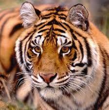 Risultati immagini per tigri