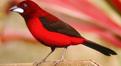 Crimson-Backed Tanager (Ramphocelus dimidiatus) Found largely in the lowlands and valleys of Northern Colombia, NW Venezuela, and Panama