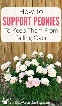 Peonies Discover Peony Supports & Tips For How To Keep Peonies From Falling Over If peony flowers are left unsupported they will fall over. Learn about peony supports how to keep peonies from drooping and other peony care tips. Peonies And Hydrangeas, Peonies Garden, Peonies Bouquet, White Peonies, Peony Bush, Peony Flower, Flower Beds, Cactus Flower, Peony Plant