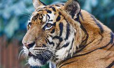 Bengal TIger - WWF