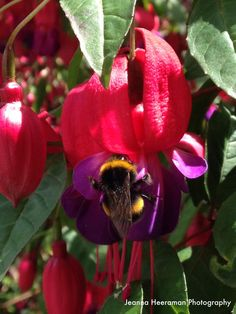 Bee on Fuchsia