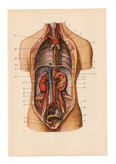 anatomy print upcycle recycle repurpose guts blood Medical Diagrams skull skeleton illustrations Anatomy Print Paper Ephemera Old Victorian Anatomy Drawing, Anatomy Art, Human Anatomy, Animal Anatomy, Medical Anatomy, Vintage Medical, Nature Drawing, Human Body, Collage Art
