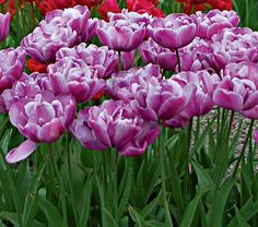 """Tulip Blue Diamond  Common Name:Double Late Tulip  HardinessZone:  3-8S / 3-8W  Height:12""""+  Exposure:Full Sun  Blooms In:May  Spacing:4-6""""  Ships as:Bulb"""