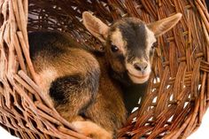 Young brown baby dwarf goat in a wicker basket - Studio-Annika/Getty Images