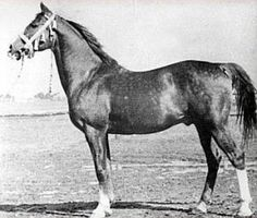 Rozmaryn (Almanzor x Dziewanna), 1935 chestnut stallion. Sire of *Bandera (x Bajadera), *Druchna (x Darda), Elokwencja (x Ela), and Znachorka (x Zahabu) along with many others. *Druchna was dam of *Druch++ (x Celebes) and *Druzba++ (x Naborr) among others. *Znachorka was dam of *Zbrucz (x Comet).