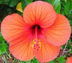 Orange Hibiscus. Kukuau street. Hilo Hi.