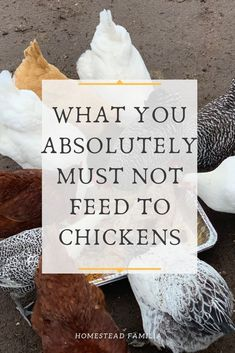 Feeding chickens leftovers from the kitchen is a no-brainer. But here's a quick list of what you absolutely cannot feed your chickens to keep them healthy. Raising Backyard Chickens, Backyard Chicken Coops, Keeping Chickens, Eating Raw Chicken, Chicken Feed, Urban Chickens, Pet Chickens, Natural Insecticide, Hobby Farms