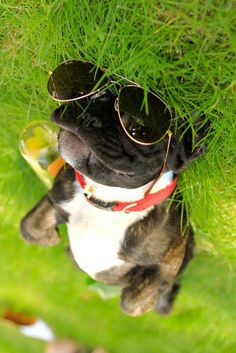 Dog Enjoying the Sun on the Grass with Shades (Photo)   Boston Terrier Dogs