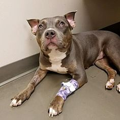 NEW YORK, NY - DOLLY is  a Pit Bull Terrier for adoption in New York, NY who needs a loving home.