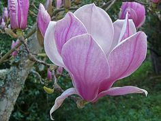 Ann Magnolias - my favorite Unique Flowers, Amazing Flowers, Pink Flowers, Magnolia Tattoo, Blooming Trees, Magnolia Flower, Plant Species, Flower Pictures, Watercolours