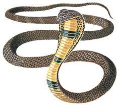 king cobra snake animal wallpaper species