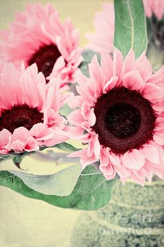 "Pink ""cherry rose"" sunflowers - Pink Sunflowers by Angela Doelling AD DESIGN Photo and PhotoArt"