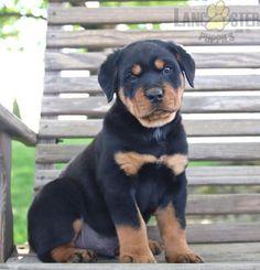 #Rottweiler #Charming #PinterestPuppies #PuppiesOfPinterest #Puppy #Puppies #Pups #Pup #Funloving #Sweet #PuppyLove #Cute #Cuddly #Adorable #ForTheLoveOfADog #MansBestFriend #Animals #Dog #Pet #Pets #ChildrenFriendly #PuppyandChildren #ChildandPuppy #LancasterPuppies www.LancasterPuppies.com Rottweiler Puppies For Sale, Cute Puppies, Lancaster Puppies, Mans Best Friend, Puppy Love, Pets, Animals And Pets