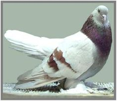 Pigeon Pictures, Pigeon Breeds, Tumbler, Birds, Animals, Backyard Chickens, Farm Animals, Animales, Drinkware