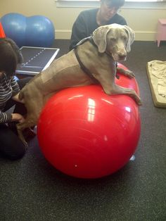 Physical therapy isn't just for humans! Here's Petplan family member Duce taking advantage of a therapy session which is covered by his pet insurance to help him recover from back surgery - $6,200 of the costs of which was has already been reimbursed by Petplan