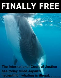 YES!!! The International Court of Justice (ICJ) has ruled that Japan's so called 'scientific whaling' program breaks international law and must stop.  Over the last 25 years, more than 10,000 whales have been killed in the Southern Ocean Whale Sanctuary by Japanese whalers.  THAT. ENDS. TODAY.  The judgments of the ICJ have binding force and are without appeal. (31 March, 2014).