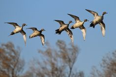 Pintail flock flying over me like that is my dream! #smackdowntime Would mount them just like that!