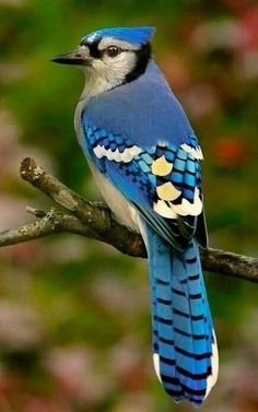 Birds ©: Blue Jay [{by rosecplima'in; Pretty Birds, Beautiful Birds, Animals Beautiful, Exotic Birds, Colorful Birds, Blue Jay Bird, Kinds Of Birds, Bird Pictures, Pictures Of Blue Jays