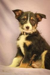 Abe is an adoptable Australian Shepherd Dog in Broomfield, CO. ABE M//12-13wks/9#. Protective. Affectionate.  Good natured.  Intelligent,. Active. Mix the qualities of an Aussie with terrier qualities...
